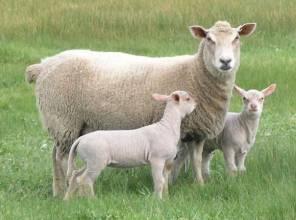 羊只死了怎么办?